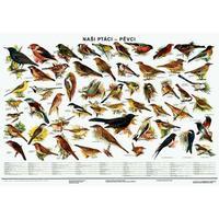Naši ptáci - pěvci - nástěnná tabule ( 96x67cm bez lišt)