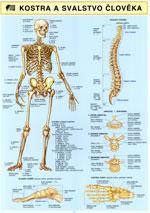 Kostra a svalstvo člověka (tabulka 2xA4)